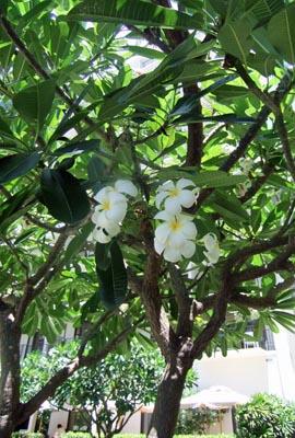 HawaiiPlumeria.jpg